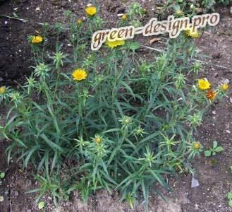 Девясил мечелистный (Inula ensifolia L)
