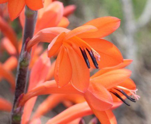 Утсония (Watsonia)