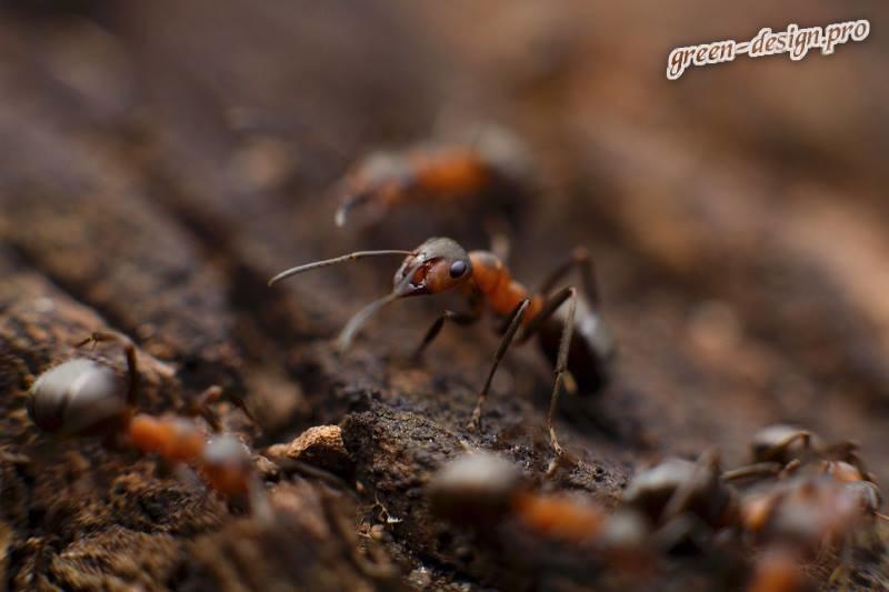 борьба с муравьями в саду