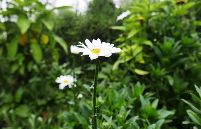 Фото Хризантемы на клумбе