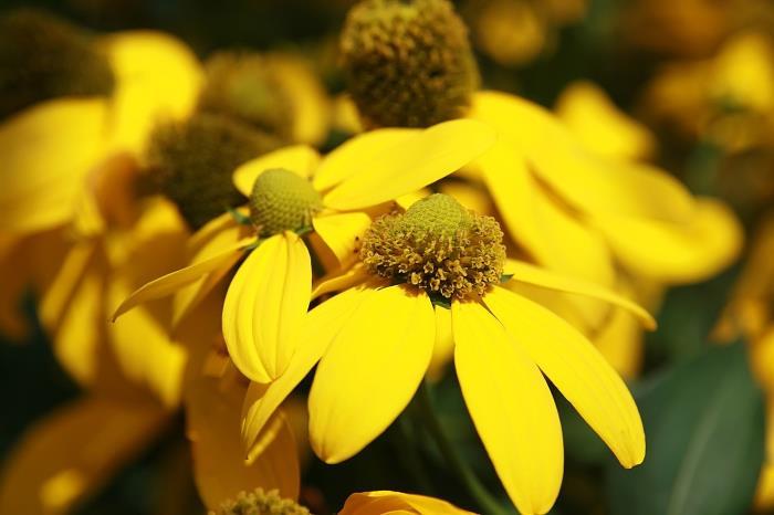 Рудбекия глянцевитая (Rudbeckia nitida)