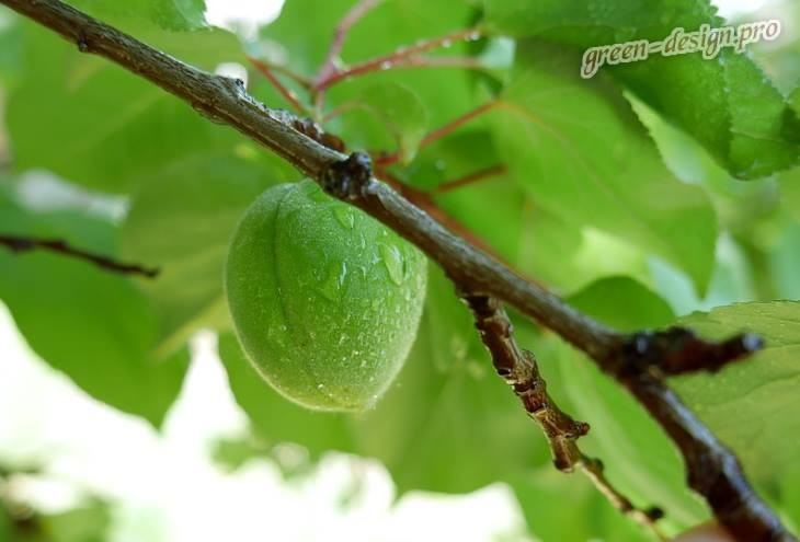 Дерево Абрикос: зеленые плоды
