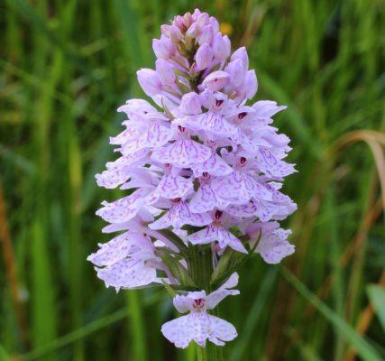 Ятрышник (Орхис) или Северная Орхидея (Orchis)