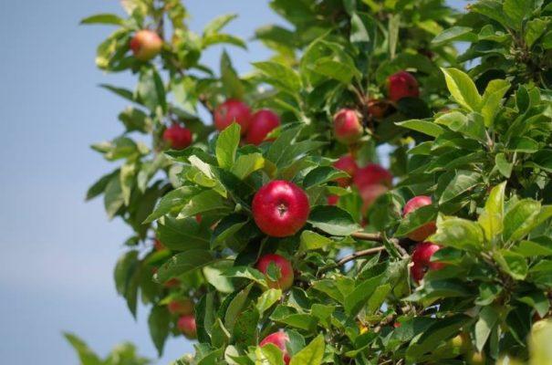 Яблоня в саду (Malus)