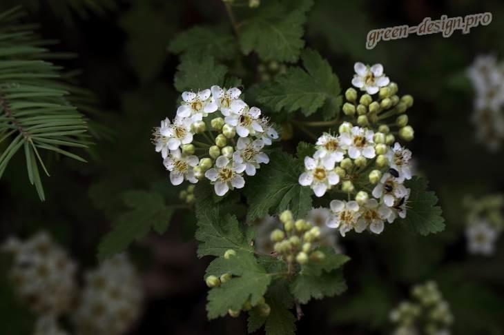Пузыреплодник однопестичный, Торрея (Physocarpus monogynus)