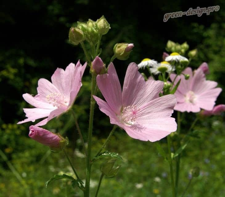 цветение мальв