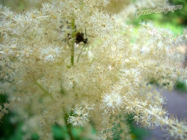 Цветение арункуса