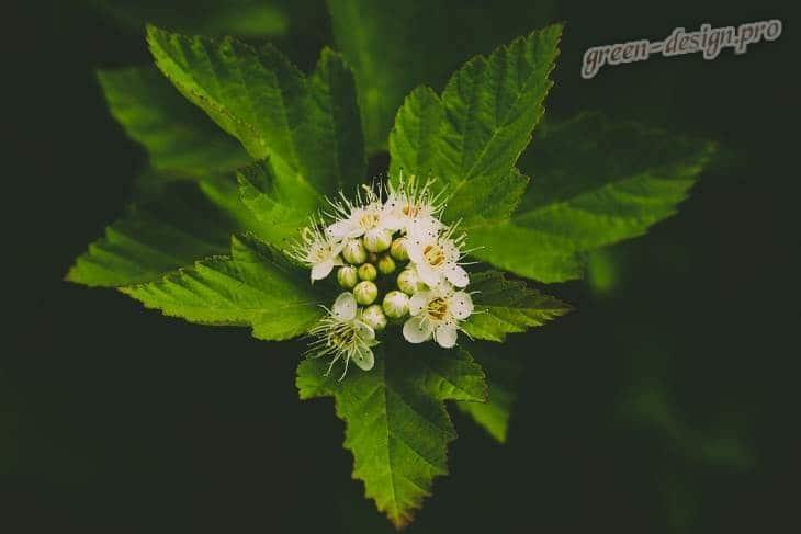 Цветки катальпы