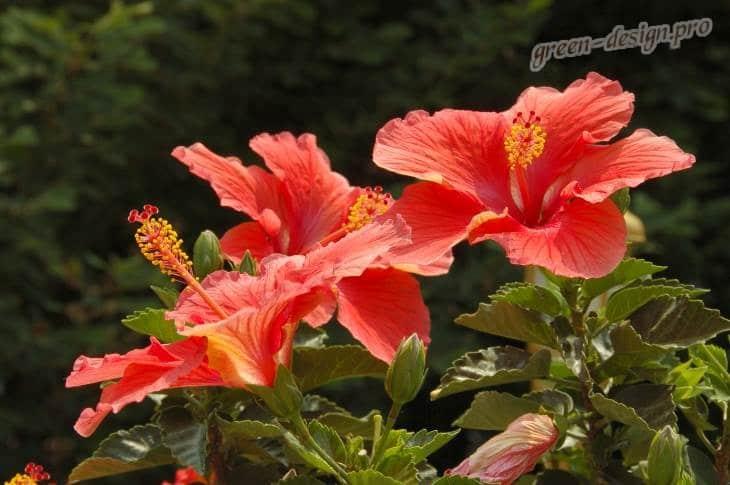 гибискус китайский (Hibiscus rosa-sinensis)