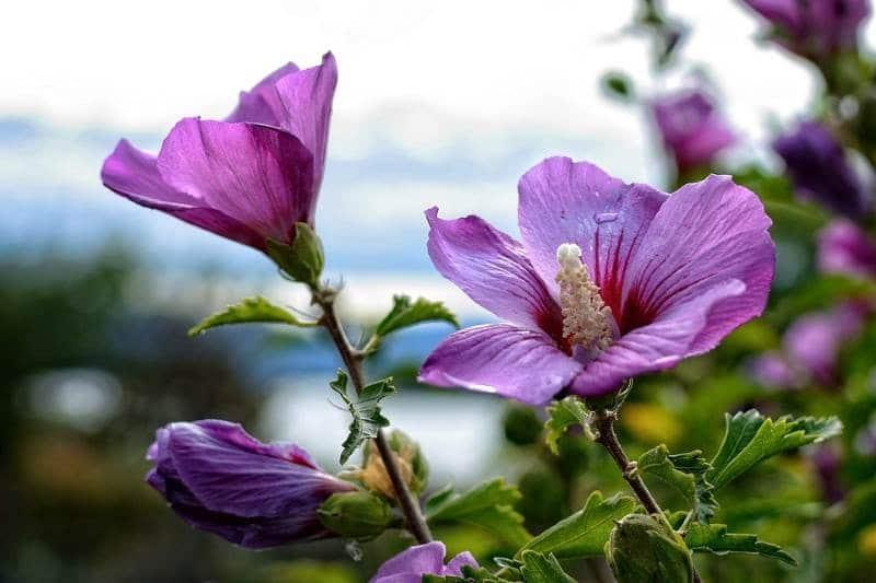 Гибискус садовый (Hibiscus)