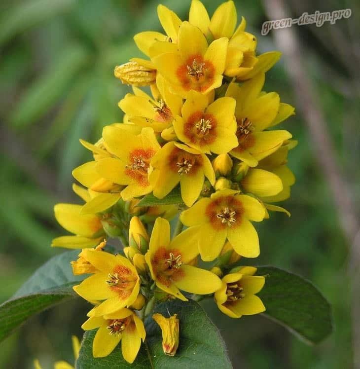 Цветение вербейника