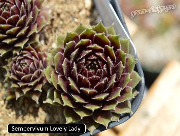 Sempervivum Lovely Lady
