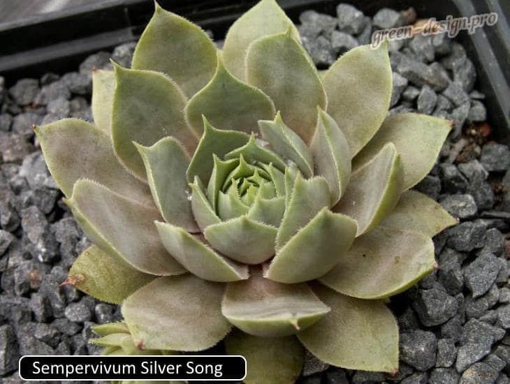 Sempervivum silver song