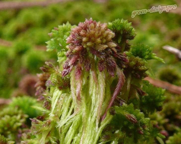 Сфагнум волосистый (Sphagnum capillifolium)
