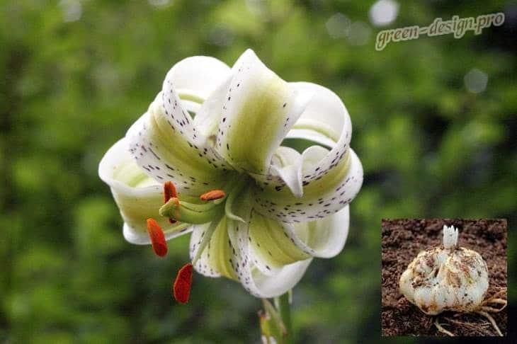 посадка лилии весной