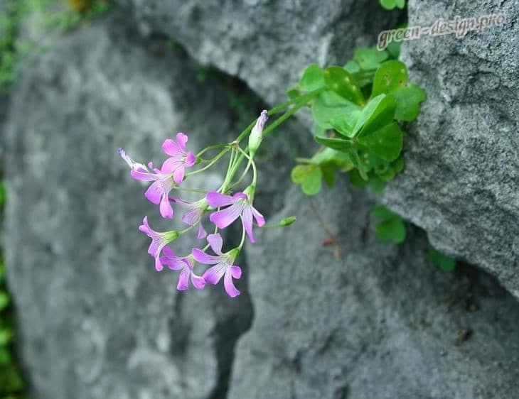 Цветы Кислицы