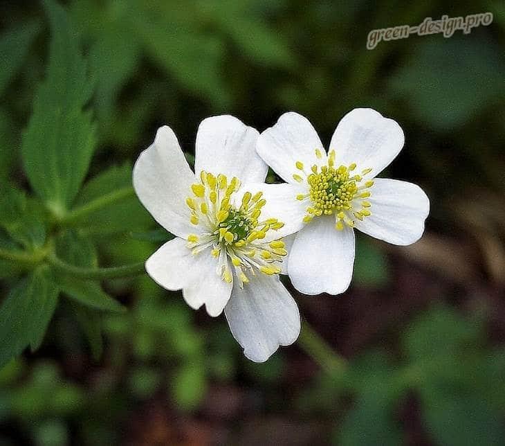лютик аконитолистный (Ranunculus aconitifolius)