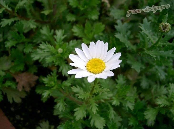 Нивяник обыкновенный (Leucanthemum vulgare)