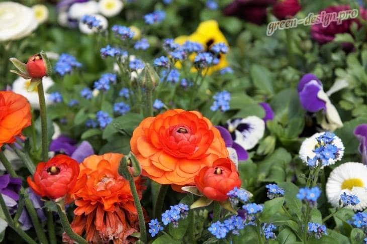 ранкулус в цветнике