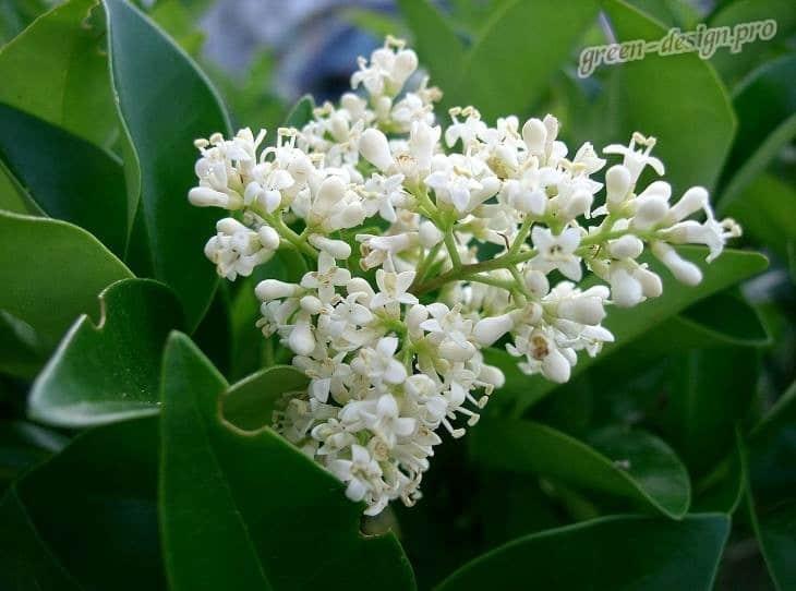Цветение бирючины