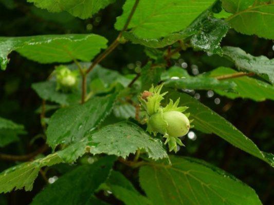 Орешник или Лещина (Córylus)
