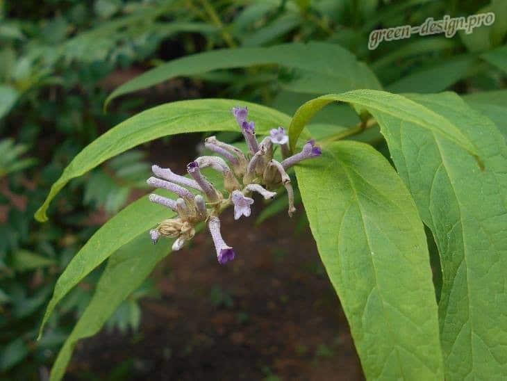 Японская буддлея (Buddleja japonica)