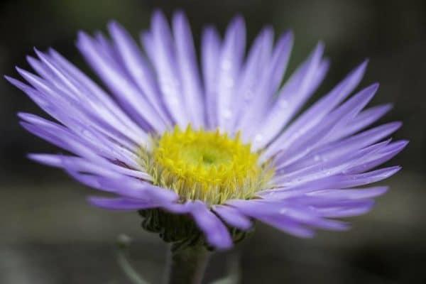 Тоунсендия или пасхальная маргаритка: виды, особенности ухода