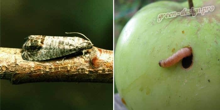 Плодожорка яблонная