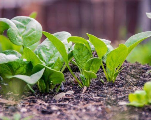 Выращивание шпината в горшке