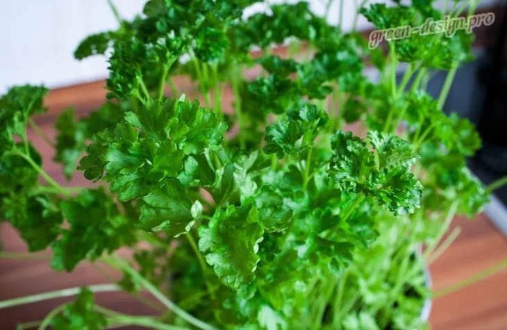 Выращивание петрушки на подоконнике: уход за зеленью