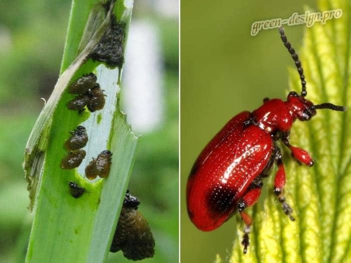 Жуки пожарники или луковые листоеды (Lilioceris merdigera)