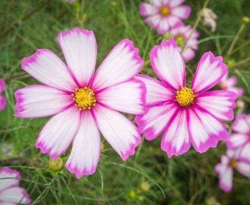 Цветок космея (Cosmos)