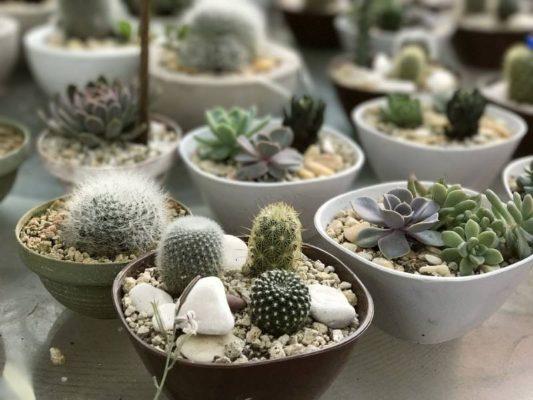 лучшие суккуленты для выращивания в домашних условиях