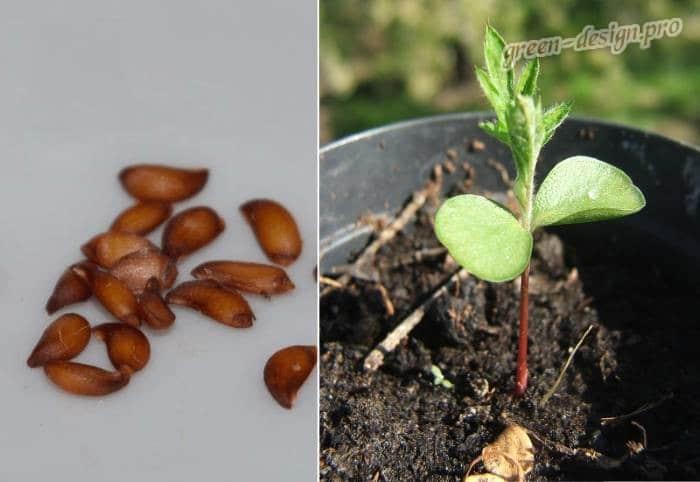 Размножение рябины семенами