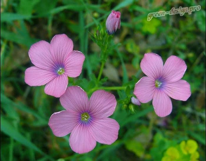 Лён крупноцветковой