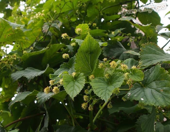 Многолетние вьющиеся растения: декоративный хмель