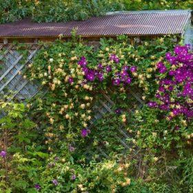 многолетние вьющиеся растения для сада и дачи