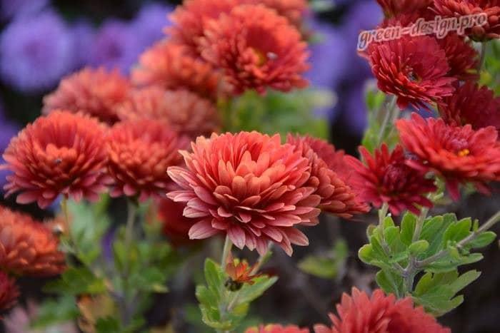 Красные многолетник: ихризантемы