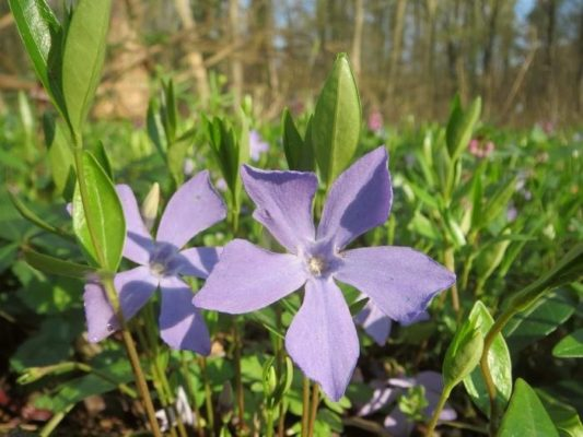 Растение барвинок