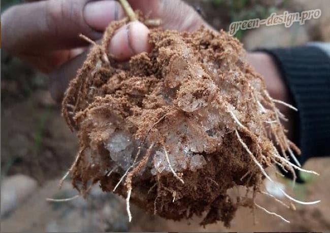 корневая система растения с гидрогелем