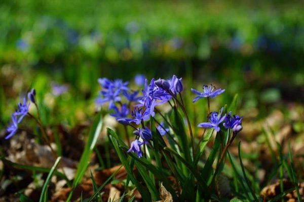 Цветок пролеска или Сцилла