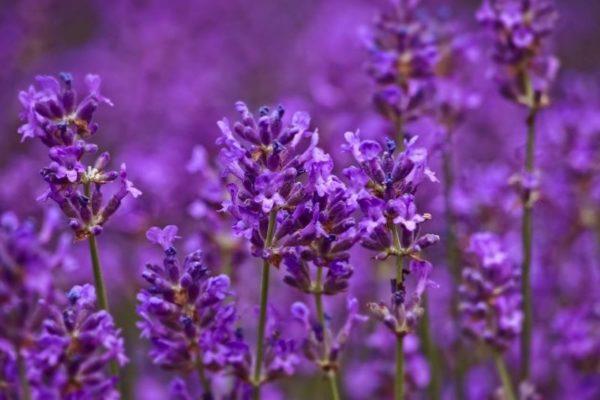 Фиолетовые многолетники