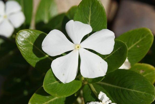 Комнатный цветок катарантус (Catharanthus)