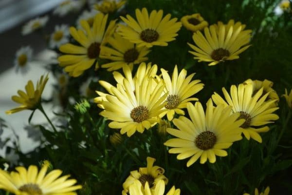 Цветок остеоспермум