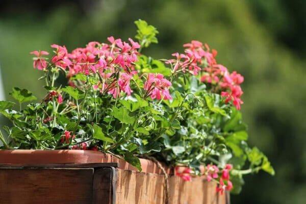 Выбираем цветы для балкона