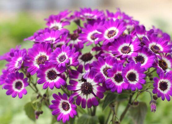 Cineraria или цветок Цинерария