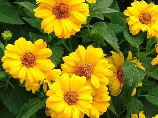 Цветок Гелиопсис