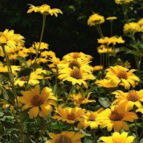 желтые многолетние цветы