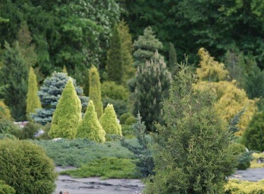 Уход за хвойными растениями