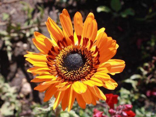 Цветок Венидиум (Venidium)